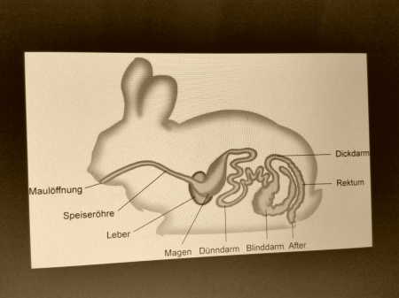 Das Innere eines Kaninchen (schematisch)